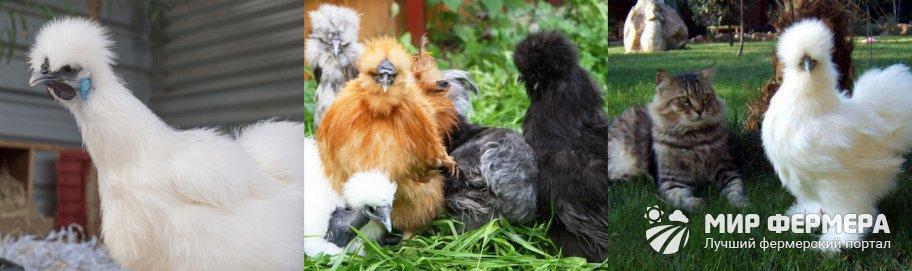 Китайская шелковая курица фото