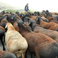 Курдючный баран