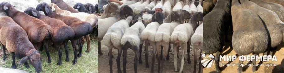 Курдючный баран описание