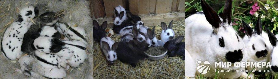 Кролик Бабочка: фото и описание