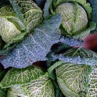 Савойская капуста: выращивание и уход в открытом грунте фото