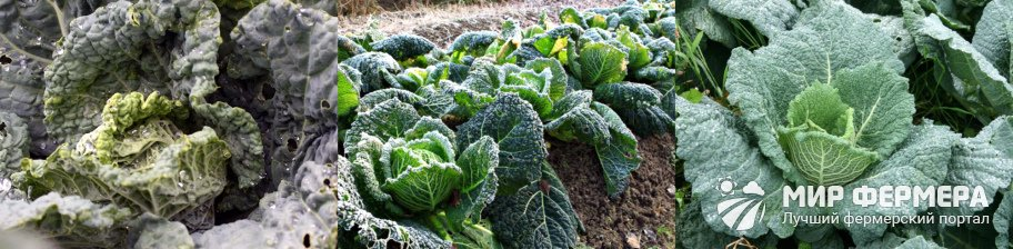 Как ухаживать за савойской капустой