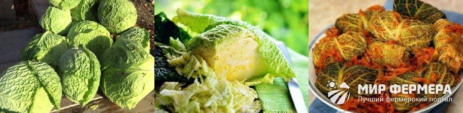 Сбор урожая савойской капусты