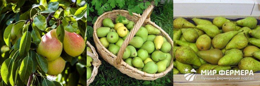Сбор урожая груши