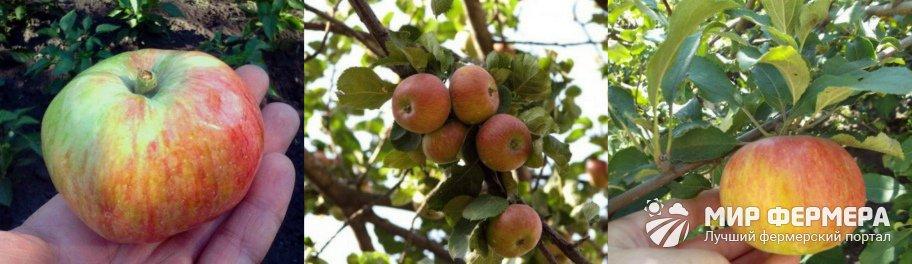 Сорта яблони Медуница