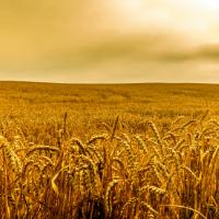 Российские ученые запатентовали уникальный способ обработки зерна