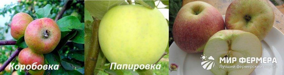 Яблоня Конфетное история селекции