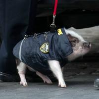 Свиней начнут использовать в полиции