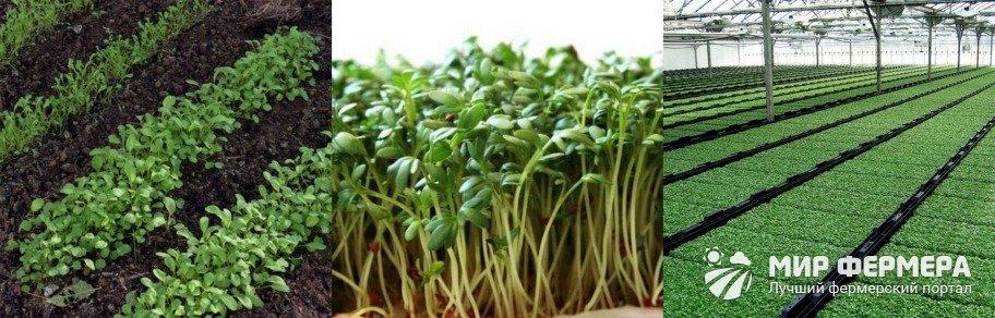 Кресс салат в открытом грунте