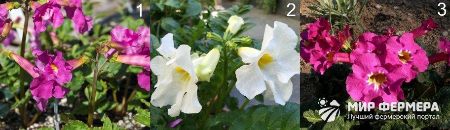 Сорта садовой глоксинии