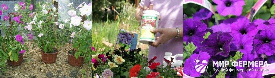 Как выращивать петунии
