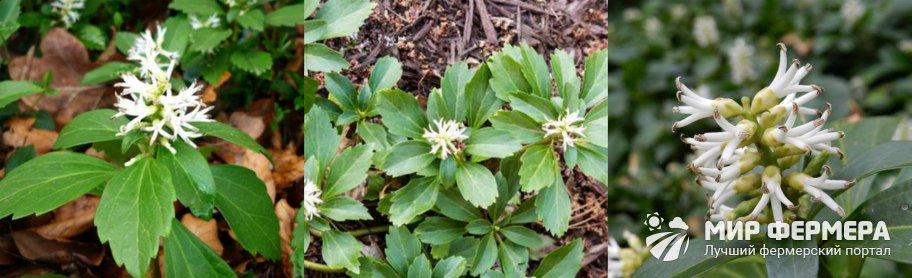 Цветок пахизандра