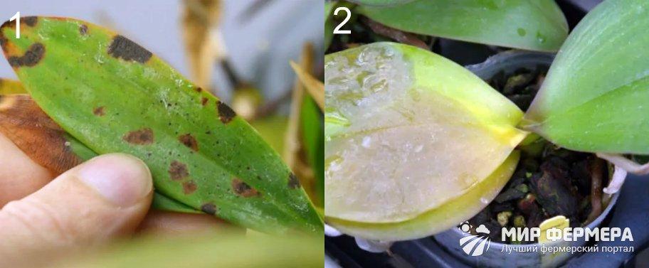 Бактериальные болезни орхидей
