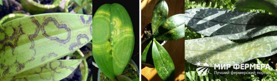 Вирусные болезни орхидей
