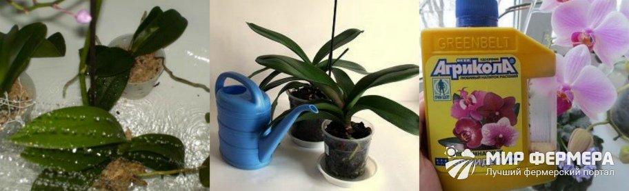 Полив и подкормка орхидеи
