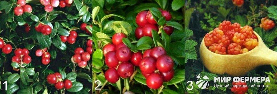 Болотные ягоды для дачи