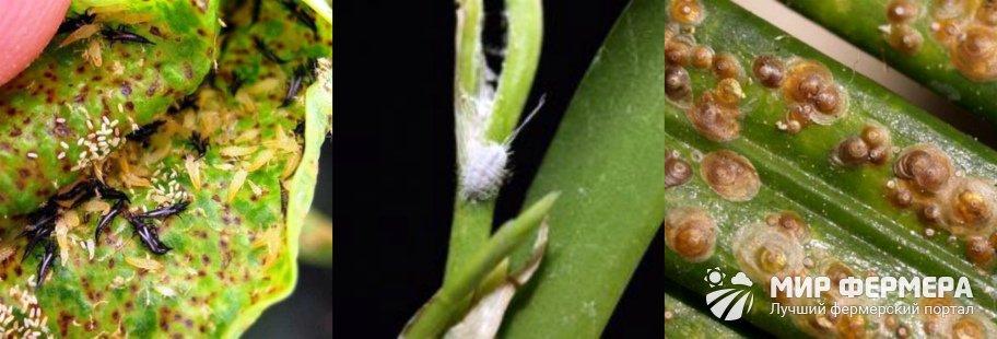 Откуда берутся вредители орхидеи