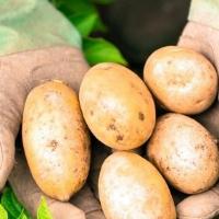 Картофель сорта Удача и его характеристики
