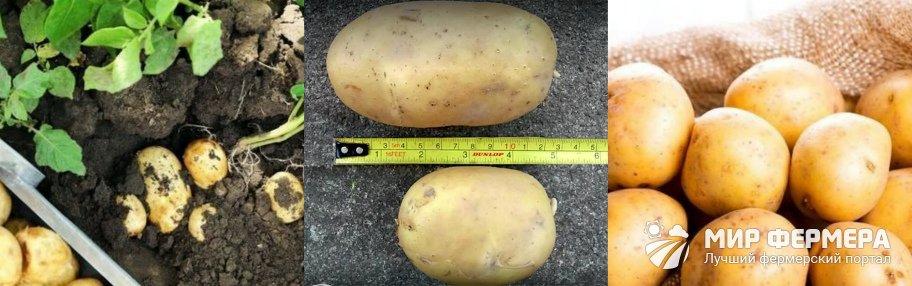 Картофель сорта Гала