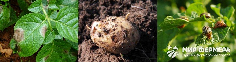 Болезни и вредители картошки