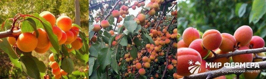 Сорт абрикоса Краснощекий