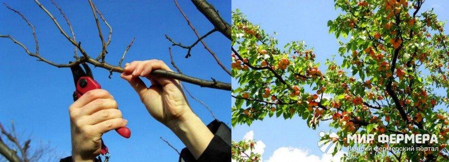 Как обрезать абрикосы