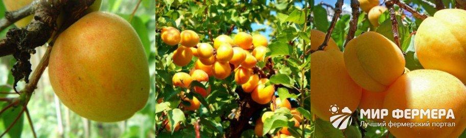 Характеристика сорта абрикоса Триумф