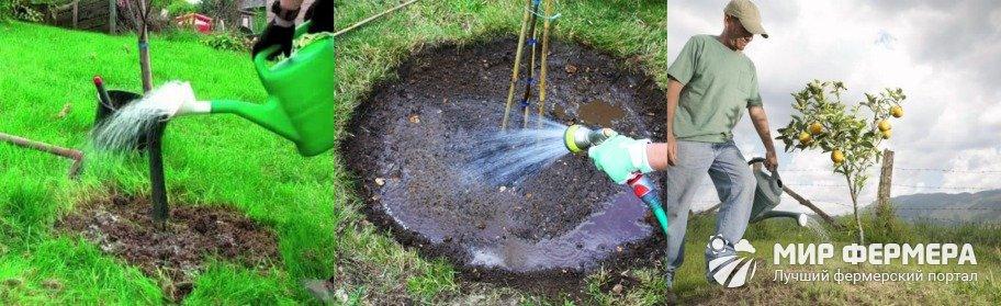 Как поливать грушу