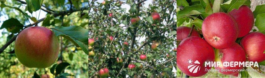Яблоня Уэлси фото