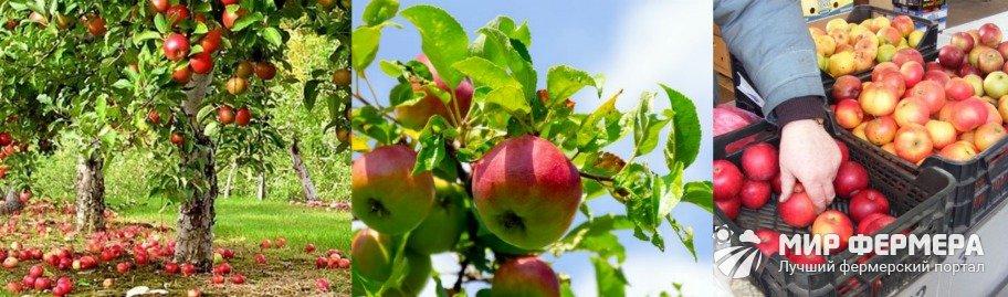 Урожайность яблони Уэлси