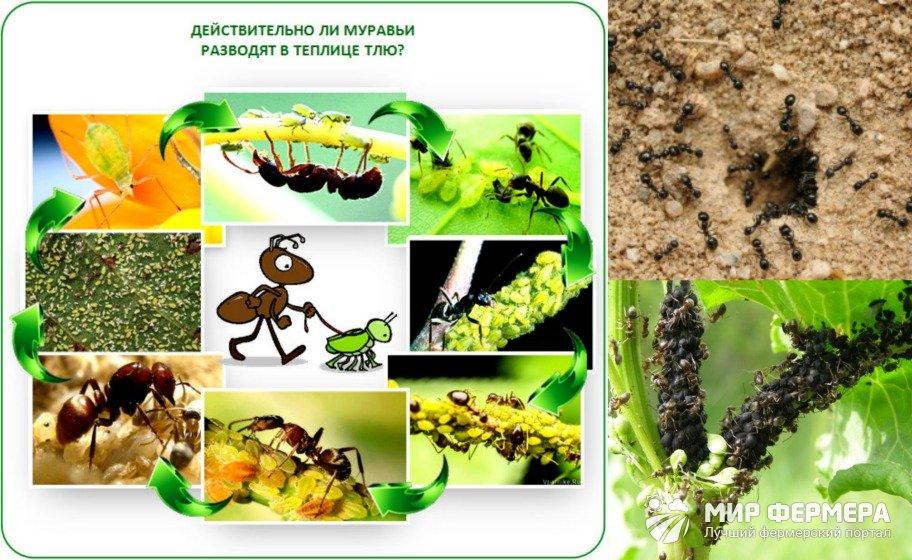 Польза и вред муравьев
