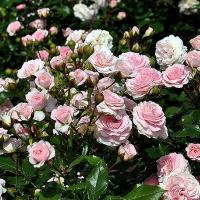 Удобрение для роз весной