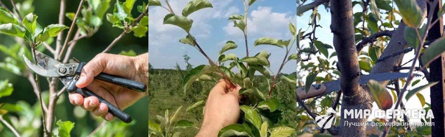 Обрезка яблони летом