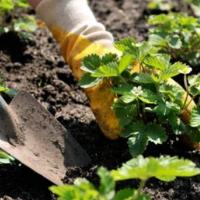 Как правильно сажать клубнику