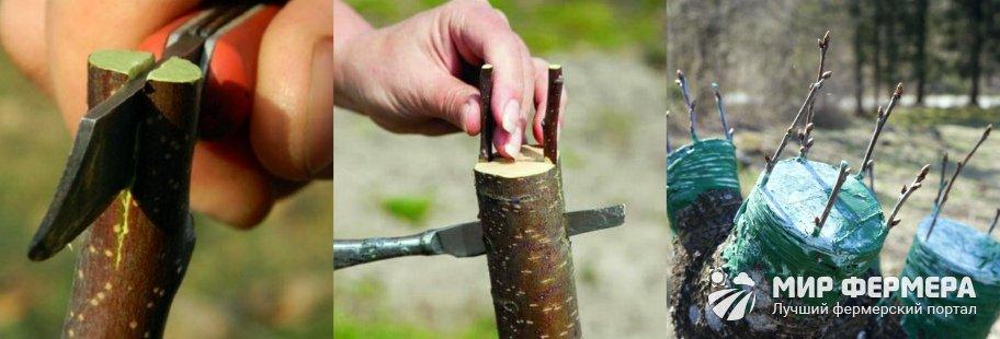 Прививка деревьев в расщеп