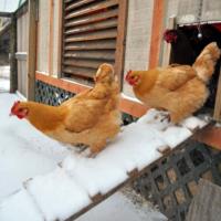 Температура в курятнике зимой