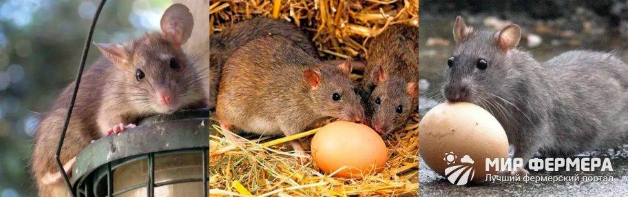 Крысы в курятнике как избавиться