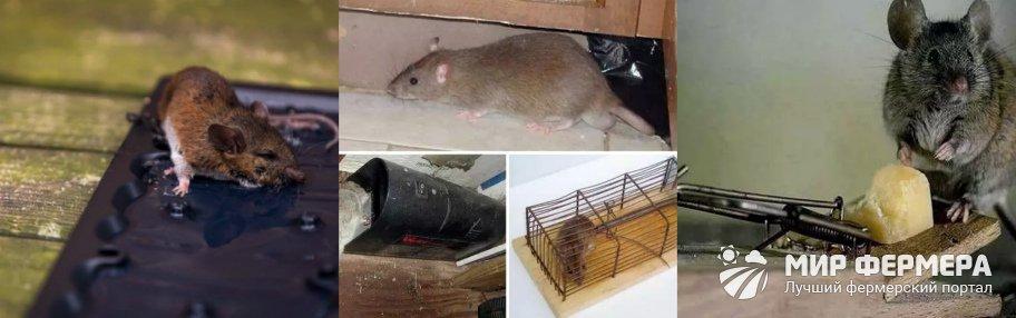 Механический способ борьбы с крысами