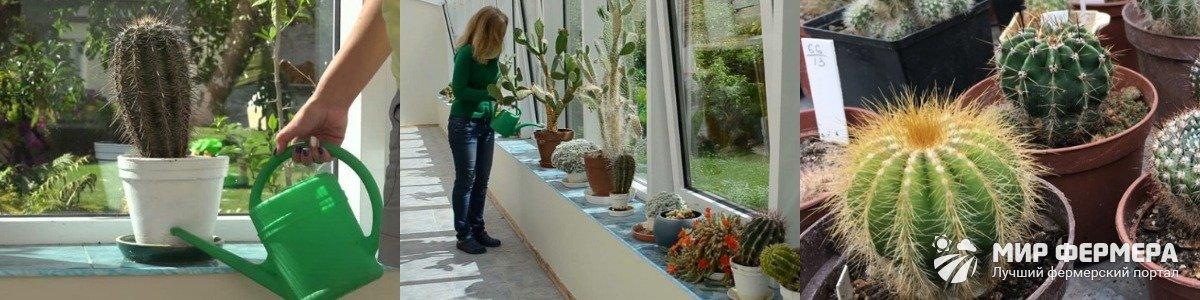Полив кактусов осенью и зимой