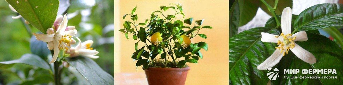 Уход за лимоном во время цветения