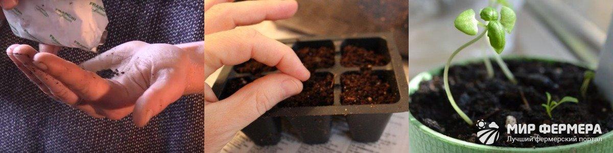 Посев базилика семенами
