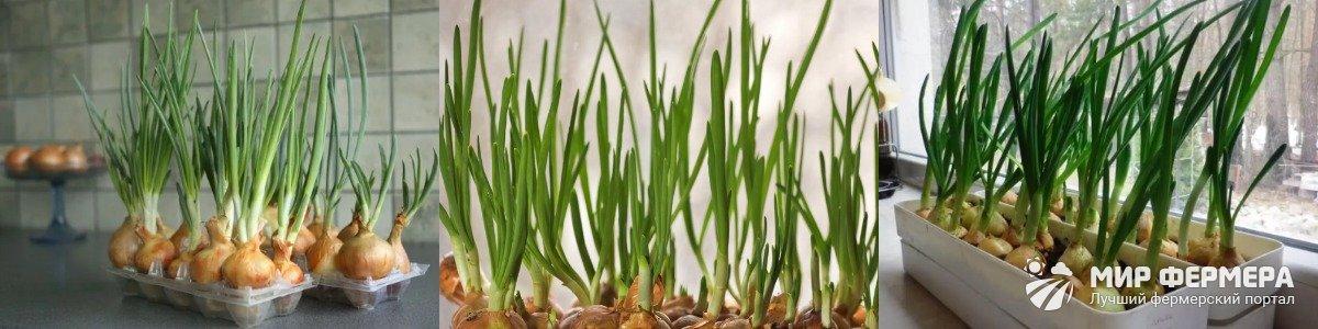 Температура выращивания лука