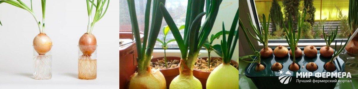 Выращивание лука в воде