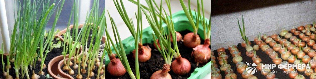 Выращивание зеленого лука в грунте