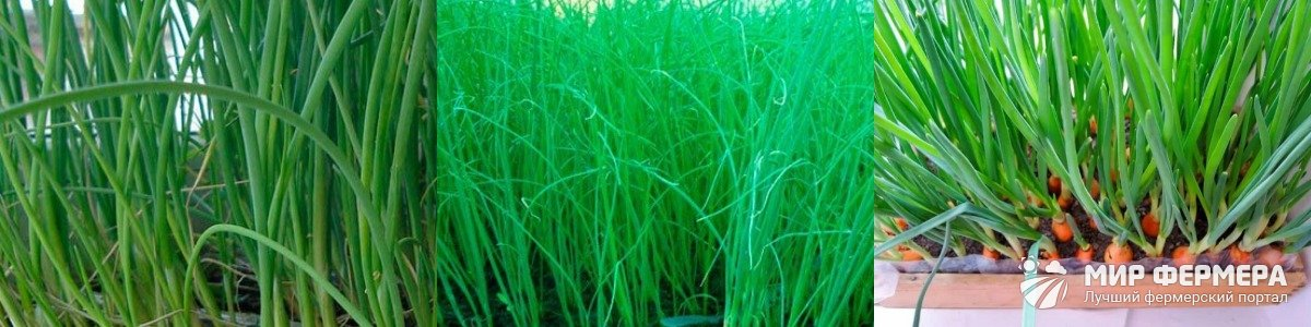 Сорта лука для выращивания на перо