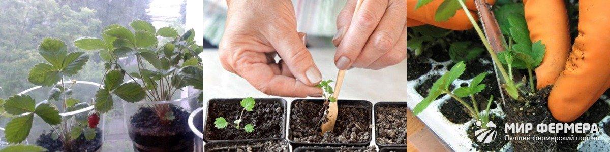 Уход за рассадой земляники