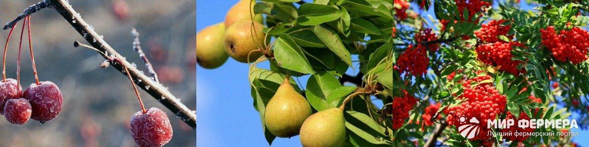 На что прививать яблоню