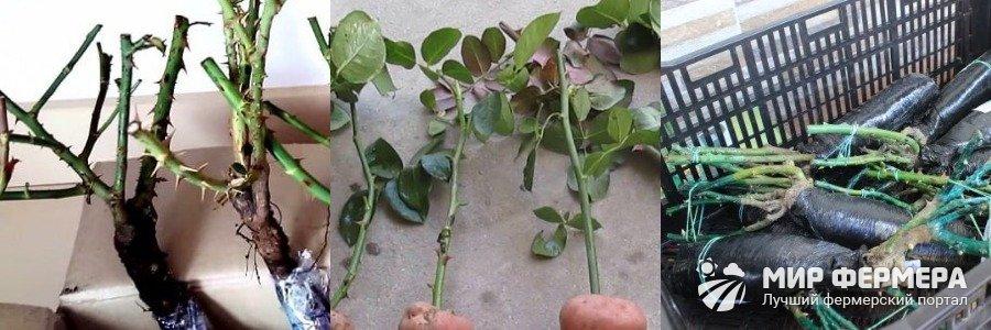 Хранение роз без земли